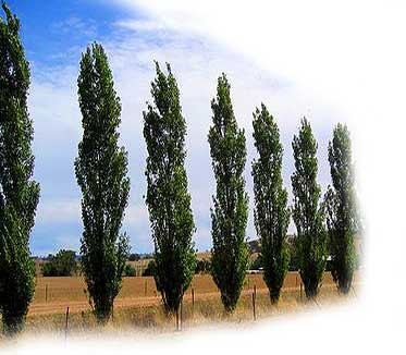 http://www.parkwoodpines.com.au/html/images/Lombardy-Poplar-Top.jpg
