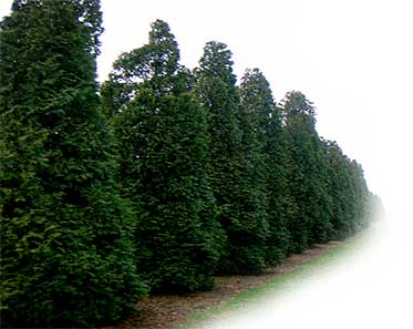 Pictures Of A Pine Cedar Tree 54