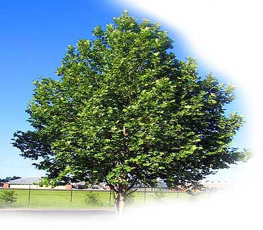 What Kind Of Tree Should I Plant In My Front Yard Page 4